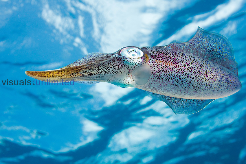 The Caribbean Reef Squid (Sepioteuthis sepioidea) is commonly observed in shallow nearshore water of the Caribbean.