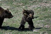 Grizzly Cubs play fighting under watchful eye of Mom, Yellowstone