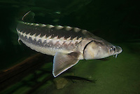 The Russian sturgeon (Acipenser gueldenstaedtii). Captive (Image shot in aquarium) in Danube Delta Eco Tourism Museum Center, Tulcea, Romania.<br /> Also known as the diamond sturgeon or Danube sturgeon. Russian sturgeon reproduce slowly, making them highly vulnerable to fishing. 2006 IUCN Red List of Threatened Species.