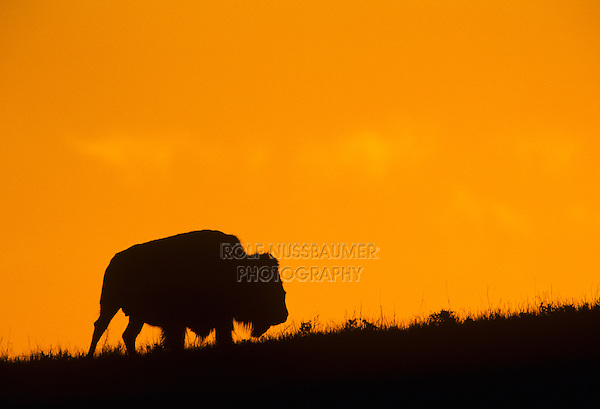 American Bison, Buffalo (Bison bison), adult at sunset, Wind Cave National Park, South Dakota, USA