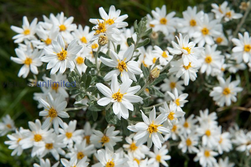 Fachine flowers (Chiliotrichum diffusum), Tierra del Fuego National Park, Argentina, Asteraceae.