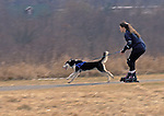 """""""SKIJORING""""  (Norwegian for ski driving).  Winter sport of dogs pulling humans on skis in the guise of exercise for individual northern breed sleddogs.  This lady doing the dry-land version using Rollerblades.  Mercer Park, Mercer County, New Jersey"""
