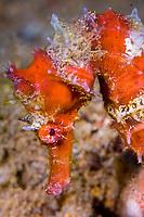 Thorny seahorse, Hippocampus histrix, Anilao, Solo, Anilao Mabini, Batangas, Philippines
