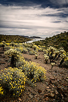 Brittlebrush in bloom among Teddy Bear Chollas near Lake Pleasant, Arizona.