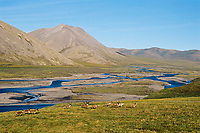 Barren Ground Caribou (Porcupine herd) along Aichilik River, Arctic NWR, Alaska Summer.