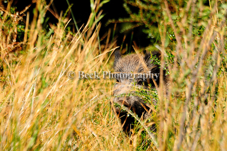 Wild boar Patagonia