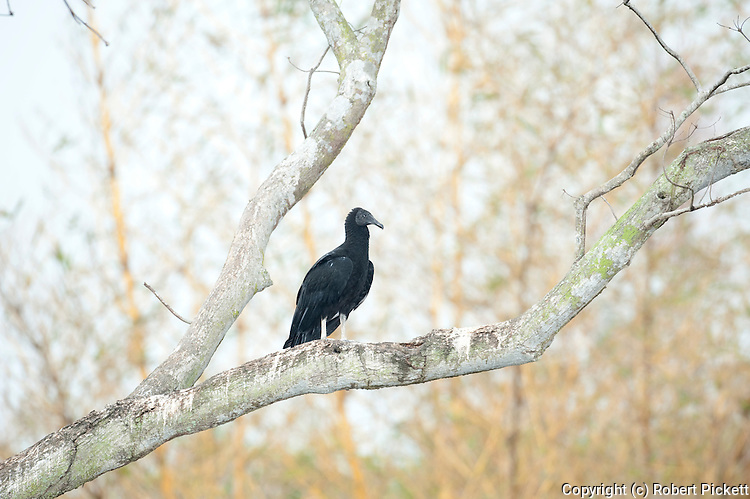 Black Vulture, Coragyps atratus, Ancon Hill, Panama, Central America, perched in tree, is a bird in the New World vulture family whose range extends from the southeastern United States to Central Chile and Uruguay in South America