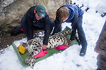Snow Leopard (Panthera uncia) biologist, Shannon Kachel, and volunteer, David Cooper, repositioning male during collaring, Sarychat-Ertash Strict Nature Reserve, Tien Shan Mountains, eastern Kyrgyzstan