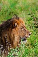 Male lion, Kwando Concession, Linyanti Marshes, Botswana.