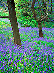 Tree in carpet of bluebells
