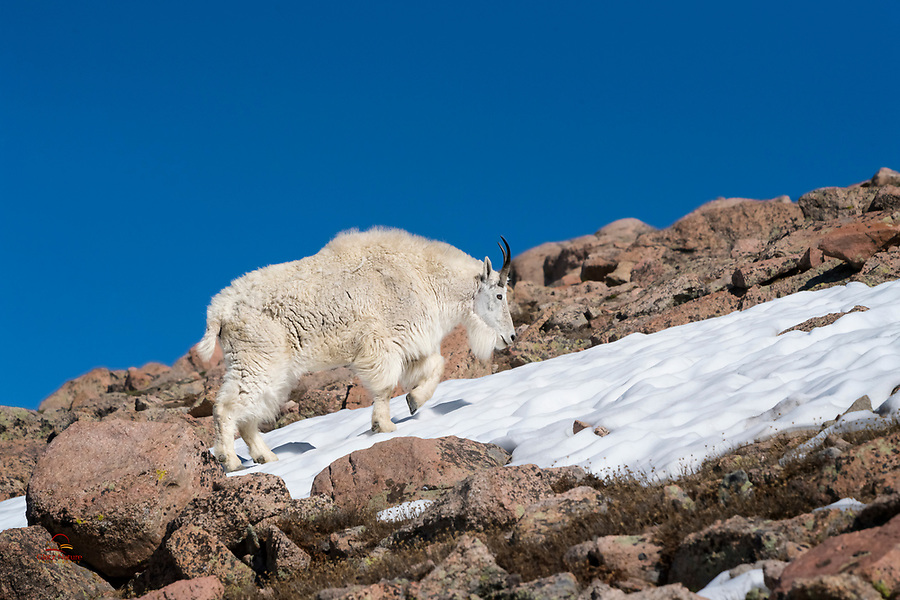 """Sometimes the slick snow is an easier path than the loose rocks at the summit of Mount Evans, Colorado.  The male Mountain Goat, called a """"Billy,"""" navigates this harsh terrain easily.  In late June the Mountain Goats still sport most of their winter coats, and look great."""