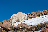 "Sometimes the slick snow is an easier path than the loose rocks at the summit of Mount Evans, Colorado.  The male Mountain Goat, called a ""Billy,"" navigates this harsh terrain easily.  In late June the Mountain Goats still sport most of their winter coats, and look great."