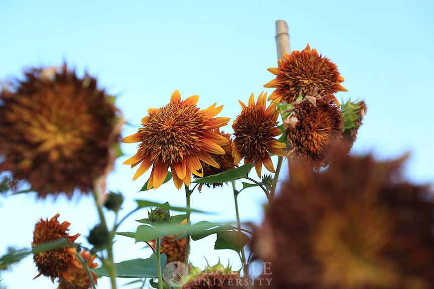 08222013- Sunflowers grow at the Seattle University Urban Farm in Renton, Wash.