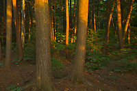 Forest at sunset at edge of Killarney Lake<br />