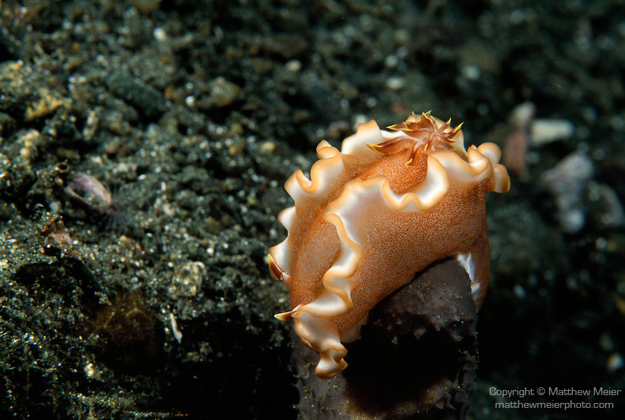Milne Bay, Papua New Guinea; Nudibranch , Copyright © Matthew Meier, matthewmeierphoto.com All Rights Reserved