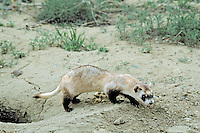 Black-footed ferret (Mustela nigripes), Eastern Montana.  Near prairie dog burrow.