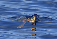 Loggerhead Turtle - Caretta caretta