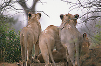Lions are sociable animals and form prides of up to 30  individuals. Lionesses form the nucleus of the pride but there will be only one dominant male. When a younger, stonger male defeats a dominant male and takes over the pride, he will sometimes kill the male cubs of his predecessor.