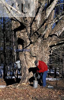 Man collecting Sugar Maple (Acer saccharum) sap in the spring, New Hampshire. MR.