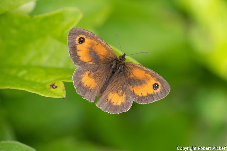 Gatekeeper Butterfly, Hedge Brown, Pyronia tithonus, Temple Ewell Nature Reserve, Kent Wildlife Trust, UK, resting with wings open