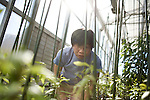 October 12, 2007, Raleigh, NC.. Ying-Hsuan Sun, a post doctorate research assistant, clips the leaves on some of the larger black cottonwood trees grown for the experiment..Greenhouses at the Department of Forest Biotechnology at North Carolina State University are being used to grow trees with lower lignin levels to be better used for future bio-fuel technologies.