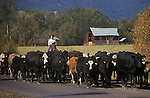 Woman herding cattle on road near town of Halfway in eastern Oregon.