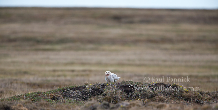 Snowy Owls nest and roost on the polygonal mounds that rise up from the tundra.