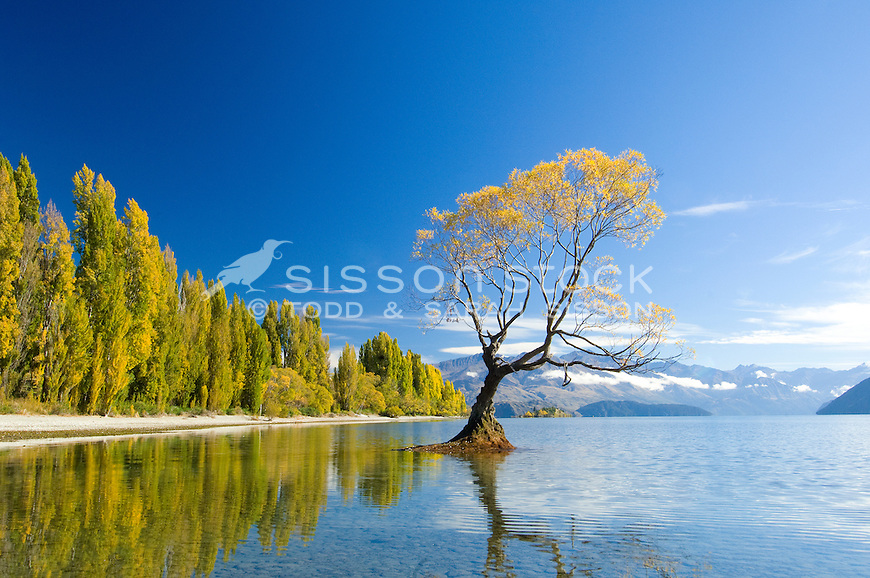 New Zealand Landscape Photos | Willow tree and poplars refected in Lake Wanaka, South Island, New Zealand<br /> <br /> SORRY - NO NEW ZEALAND SOUVENIR OR POSTCARD LICENCING PERMITTED