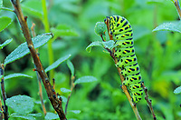 Morning dew on caterpillar, Denali National Park, Alaska