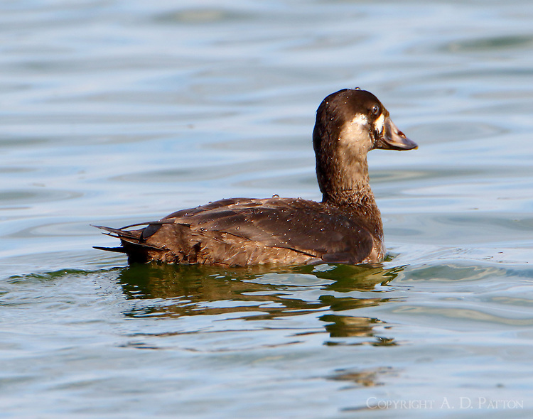 Surf scoter immature male