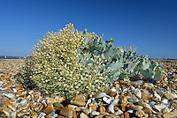 Sea-kale in fruit (Crambe maritima) on Hurst Spit, Hampshire