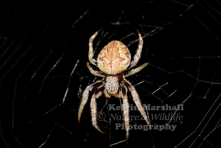 The Australian garden orb weaver spider (Eriophora transmarina) is a very common species of spider with many variants in size, shape and colour within Australia. They are often brightly coloured and have very large abdomens.