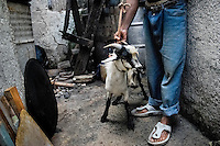 A Cuban man keeps a goat for a sacrifice during the Palo religion ritual in Santiago de Cuba, Cuba, August 1, 2009. The Palo religion (Las Reglas de Congo) belongs to the group of syncretic religions which developed in Cuba amongst the black slaves, originally brought from Congo during the colonial period. Palo, having its roots in spiritual concepts of the indigenous people in Africa, worships the spirits and natural powers but can often give them faces and names known from the Christian dogma. Although there have been strong religious restrictions during the decades of the Cuban Revolution, the majority of Cubans still consult their problems with practitioners of some Afro Cuban religion.