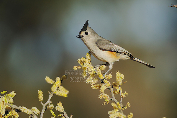 Black-crested Titmouse (Baeolophus atricristatus), adult on blooming Blackbrush Acacia (Acacia rigidula), Dinero, Lake Corpus Christi, South Texas, USA