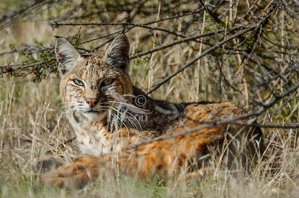 Wild Bobcat (Lynx rufus) resting on grassy hillside in Central California.  December.  (Completely wild, non-captive cat.)