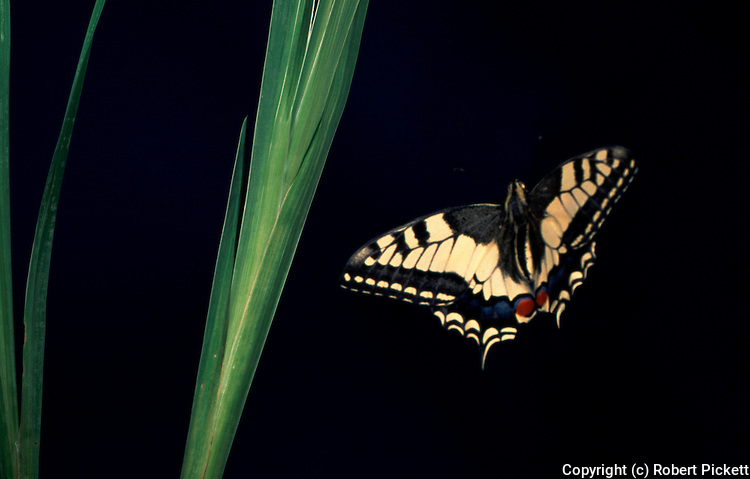 Swallowtail Butterfly, Papilio machaon, in flight, flying, high speed flash.United Kingdom....