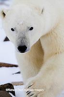 01874-13301 Polar Bear (Ursus maritimus) Churchill Wildlife Management Area Churchill MB