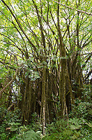 A large banyan tree along the main trail in 'Akaka Falls State Park, Honomu, Big Island.