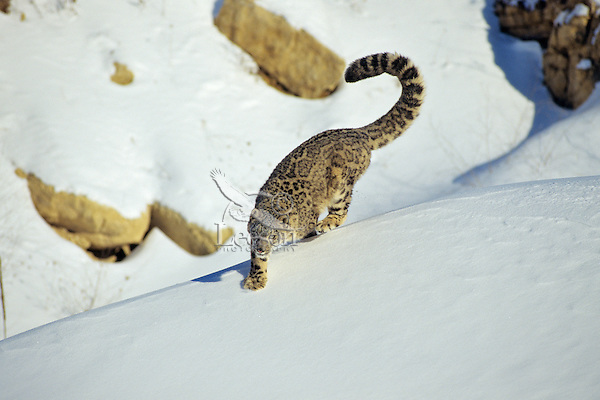 Snow Leopard (Panthera uncia) or (Uncia uncia)--uses long tail for balance when running or jumping, chasing prey.