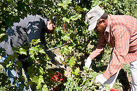 Raccolta dell'uva ai vigneti dei signori Franchini presso Montescano (Pavia) nell'Oltrepò Pavese. Due fratelli pachistani con cittadinanza italiana assunti per la vendemmia --- Grape harvest at Franchini's vineyards near Montescano (Pavia) in the Oltrepò Pavese. Two brothers from Pakistan with italian citizenship employed for the harvest