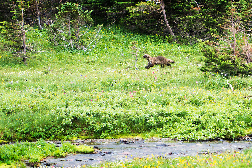 A wolverine moves through an alpine meadow on Logan Pass in Glacier National Park.