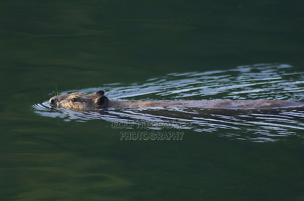 American Beaver,Castor canadensis, adult in creek swimming, McDonald Creek, Glacier National Park, Montana, USA