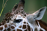 Giraffe (Giraffa camelopardalis) is an African even-toed ungulate mammal