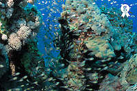 Glass fish and coral reef, Red Sea, Egypt (Licence this image exclusively with Getty: http://www.gettyimages.com/detail/81867364 )