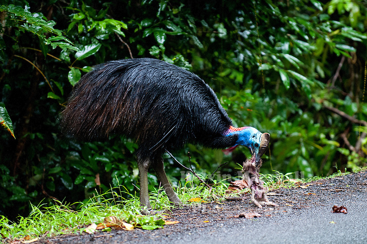 The Southern Cassowary, Casuarius casuarius, also known as the Double-wattled Cassowary, Australian Cassowary or Two-wattled Cassowary, is a large flightless black bird. It is a Ratite and therefore closely related to the Emu, Ostrich, and Rhea...This Sub - adult bird was photographed feeding on a dead road kill Bandicoot.