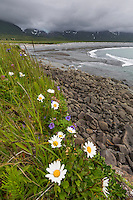 Wildflowers along the shores of the Alaska Peninsula, Katmai National Park, Alaska.