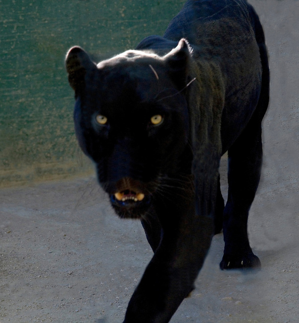 A black leopard appears at The Exotic Feline Rescue Center near Lancaster, California