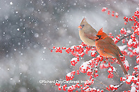 01530-206.01 Northern Cardinals (Cardinalis cardinalis) male and female in Common Winterberry bush with berries  (Ilex verticillata) in snowstorm in winter, Marion Co., IL