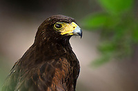 Harris's Hawk Portrait