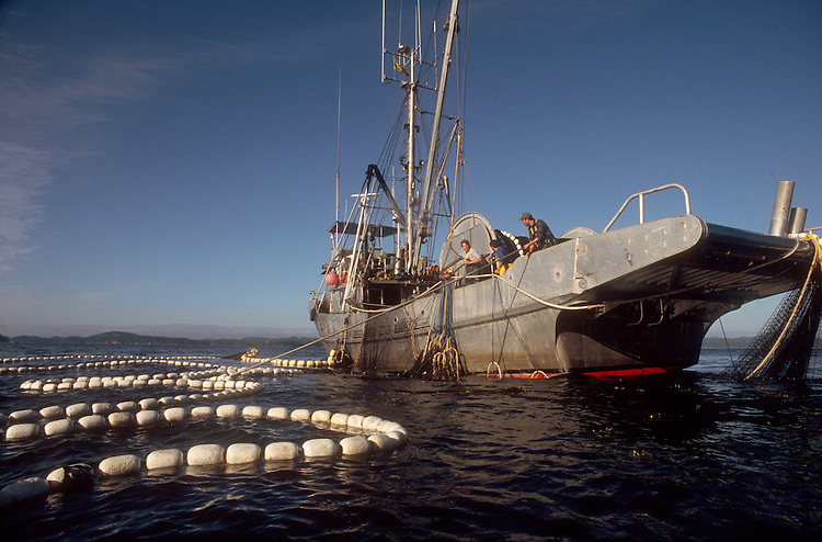 Salmon. Commercial salmon seiner taking in a set of Sockeye salmon, Johnstone Straits, Vancouver Island, British Columbia, Canada, Inside Passage, West Coast, North America,.